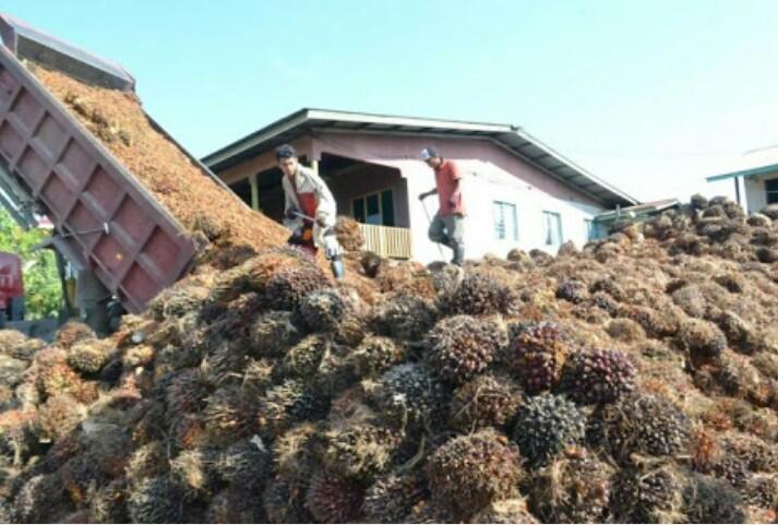 Turunnya Harga Kelapa Sawit Berdampak Buruk Perekonomian Di Pulau Sebatik.
